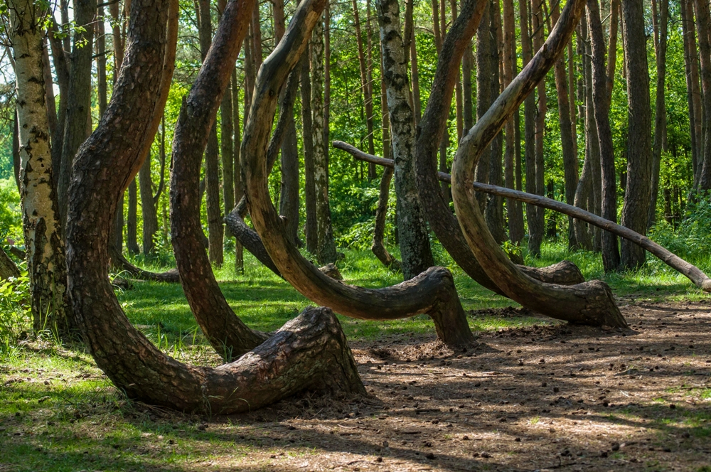 Crooked Forest – Poland
